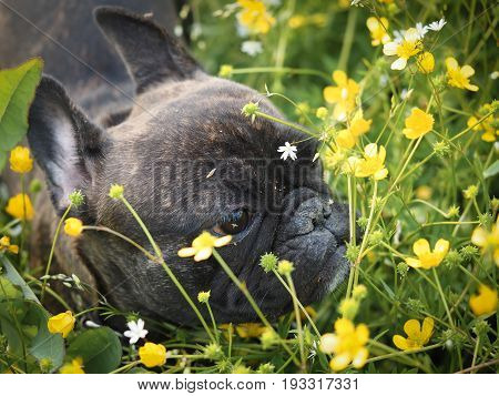 Funny dog. The bulldog's face in the grass and flowers