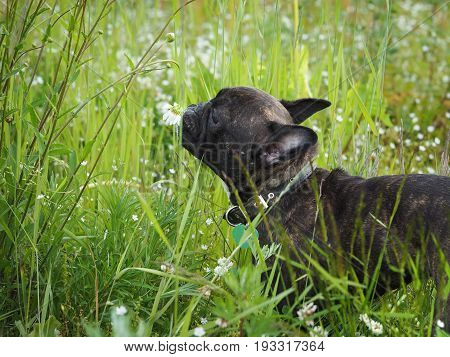 Funny dog sniffing chamomile flowers. Tall grass