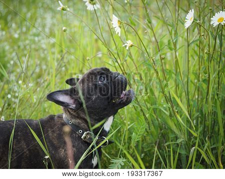 Funny dog watching flowers of chamomile. Tall grass