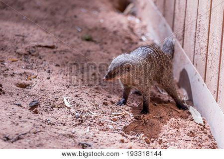Coati With Open Legs And Striped On The Back On Brown Earth And A Wooden Wall On The Right