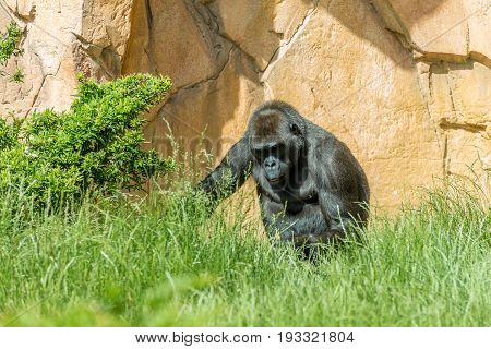 Gorilla Sitting On High Grass With Stone Wall On The Background