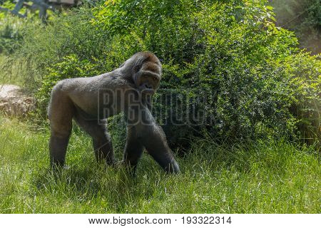 Great Gorilla Staring And Walking Looking Alert And Menacing Against A Bush Background