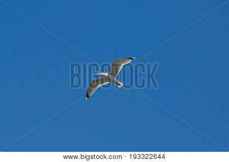 Flying Seagull in blue sky, free wild bird high in the atmosphere.