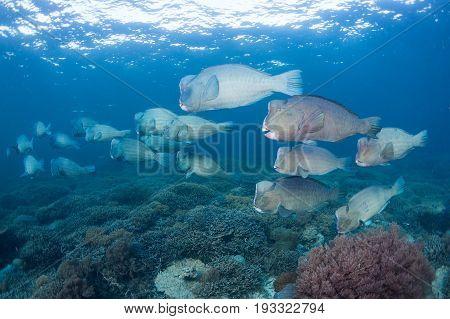 Bumphead Parrotfish (Bolbometopon muricatum) Swimming pass tropical coralreef at sipadan island Background surface Borneo. Malaysia