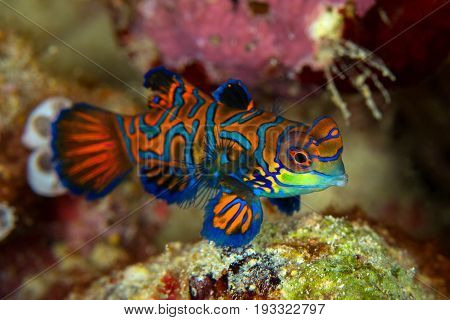 Mandarinfish or Mandarin dragonet ( Synchiropus splendidus ) is close-up shot it very small tropical fish vivid color Sipadan island Borneo . Celebes sea malaysia