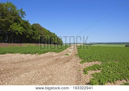Potato Crop Red Campion And Trees