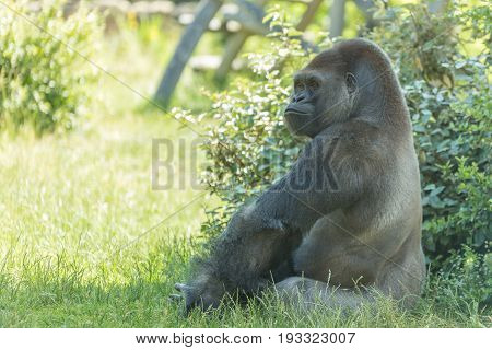 Male Silver Back Gorilla Sits And Poses Looking Beyond With Lordliness And Placidity With Green Tree