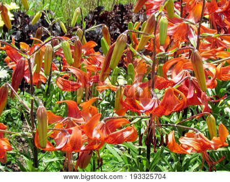 Orange Adonis Lily in garden in Toronto Canada