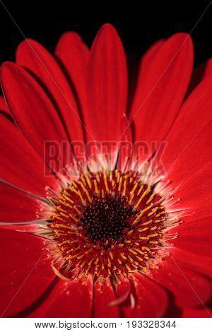 Bright Red Happy Gerbera Daisy Flower Gerbera Jamesonii