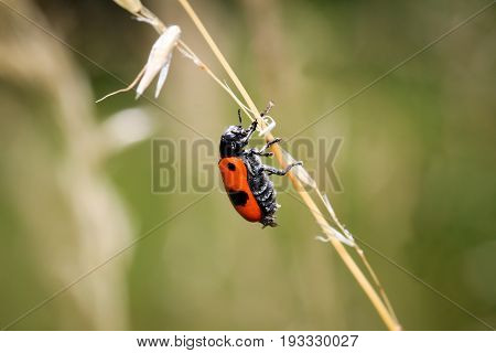 This is a Apeculus beetle (Clytra laeviuscula)