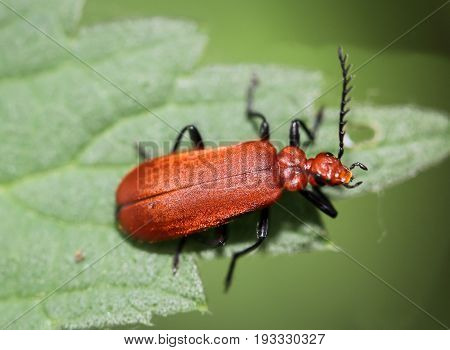 This is a Cardinal Beetle, Cardinal Beetle - Pyrochroa serraticornis, Animals, Beetle, Nature