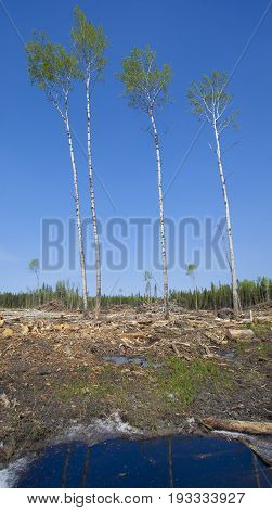 Four trees that have been spared during a logging operation in Canada