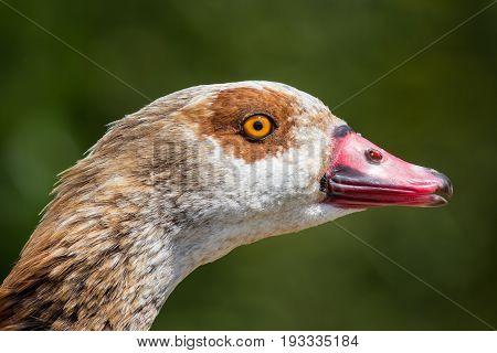 Close up of goose head. Beautiful egyptian goose (Alopochen aegyptiaca) face.