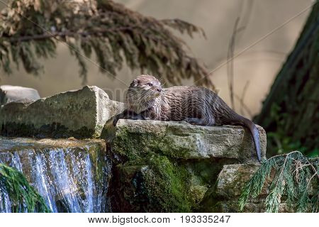 Otter. Scenic riverside wildlife. Picturesque otter (Aonyx cinerea) lying down on rocks by a countryside stream waterfall. Rural nature scene.