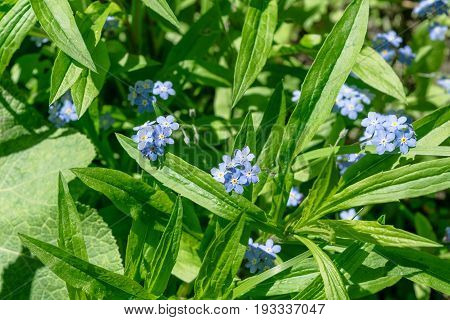 Bunches of beautiful blue flowers amongst green foliage in a clearing in the woods. A bright Sunny day. The five-petal flower. Several bunches of flowers.