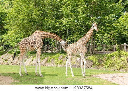 Two Giraffes Male And Female Walking And Flirting With Trees On The Background