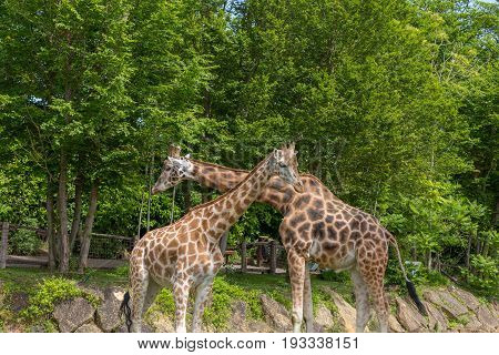 Two Giraffes Male And Female Flirting With Necks Crossed With Trees On The Background