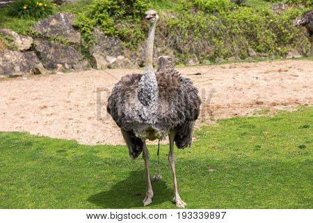 Two Ostriches (struthio Camelus) Posing While Void Excrement Defecating