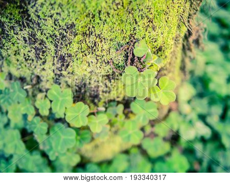 Bright green shamrock clover trioflium growing with moss on the tree trunk bark, blured background, copy place