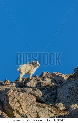 a mountain goat in the Colorado mountains