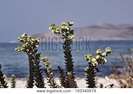 Blossoming plant on the sand dunes on the coast of Kos