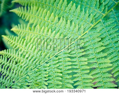 Detail of fern leaf, bracken sword, fresh saturated green symmetry pattern, nature representation