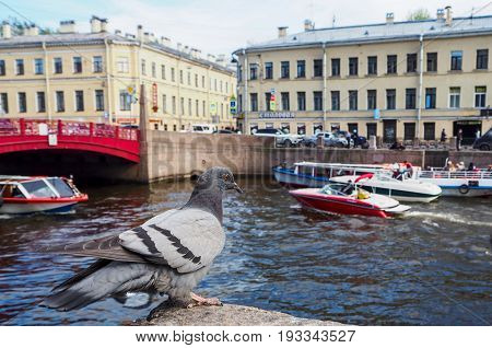 Blue pigeon sitting on the embarkment before the Red bridge and boats sailing around. St. Petersburg Russia