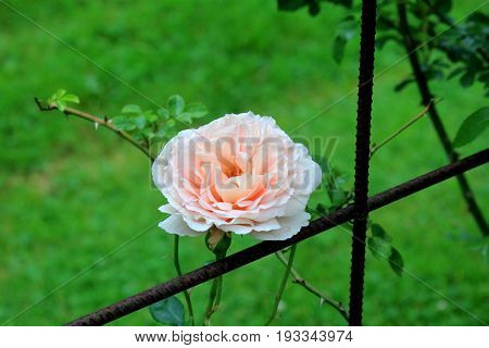 Horizontal image of fragrant peach-color rose leaning against rusty fencing.