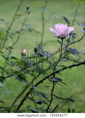 Vertical image of pink roses, some open fully to Summer sunshine, others just beginning to open.