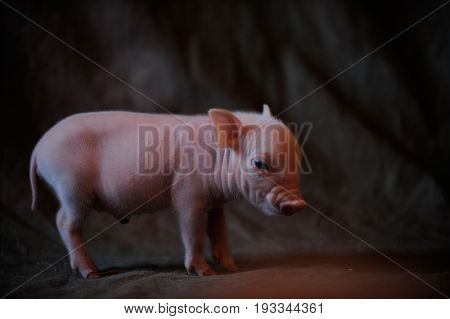 Piglet came to take photo in studio in the village house in the ragar of summer