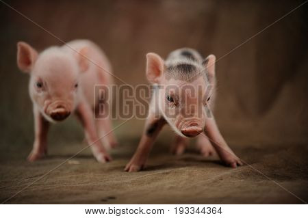 Two little piglets came take photos in the village studio