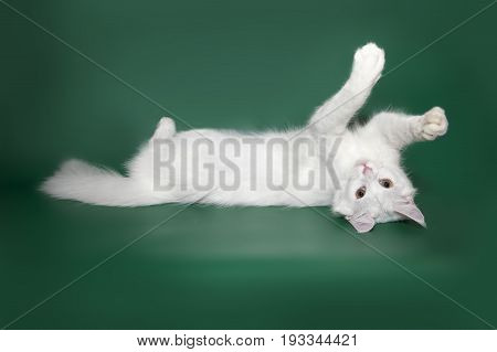 Funny and cute white maine coon plays on a studio dark green background.