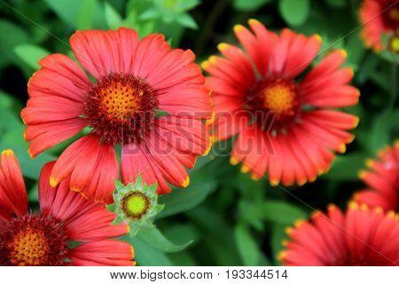 Pretty image of beautiful burnt orange color of Springtime flowers.