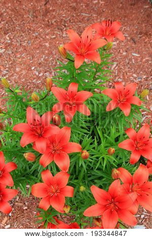 Gorgeous image of burnt orange tiger lilies tucked into lush green  foliage of plant.