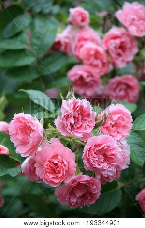 Vertical image of pretty pink, fragrant roses in garden