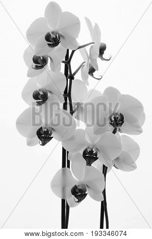 Flowers Of White Orchid On Plain White Background