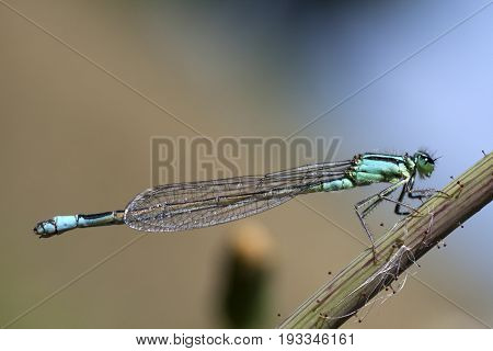 Blue Tailed Damselfly (Ischnura Elegans) clinging to plant stalk