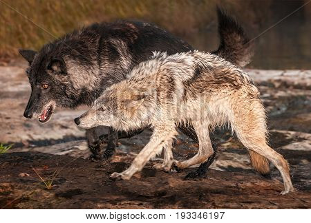 Grey Wolves (Canis lupus) Run Out of River - captive animals