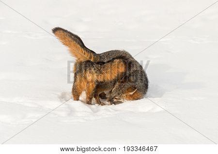 Grey Fox (Urocyon cinereoargenteus) Curl Around Each Other - captive animals