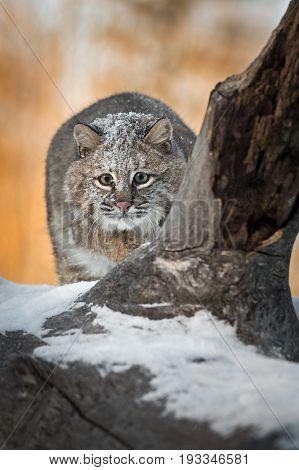 Bobcat (Lynx rufus) Stalks Forward - captive animal