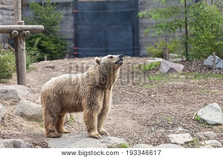 Male Brown Grizzly Bear Posing In A Imponent Magnificent Way With Trees And A Gate On The Background