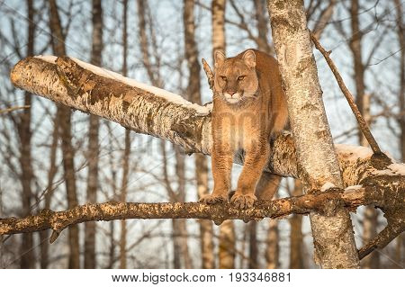 Adult Female Cougar (Puma concolor) Looks Out from Tree - captive animal