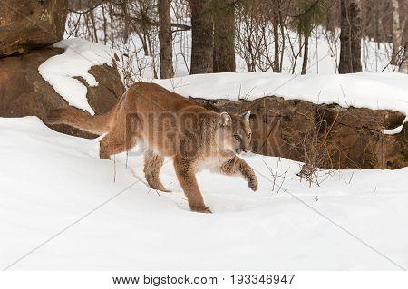 Adult Female Cougar (Puma concolor) Stalks Forward Through Snow - captive animal