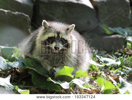 Raccoon in the Taunus mountains Hesse Germany