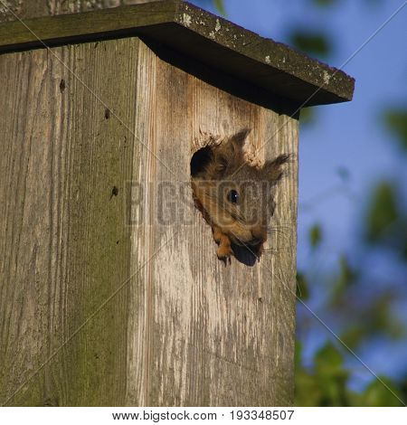 Super cute adorable squirrel looking out of a birds house with some flies at the side perhaps bugging him