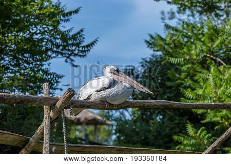 White Pelican Sat On A Branch With Blue Sky And Trees On The Background