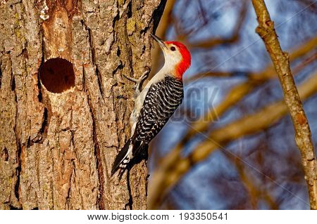 A Red-Bellied Woodpecker perches near it's hole. These talkative woodpeckers are fun to watch as they wander around the woods. They will often be found at bird feeders and have been known to attack other aggressive birds like Starlings.