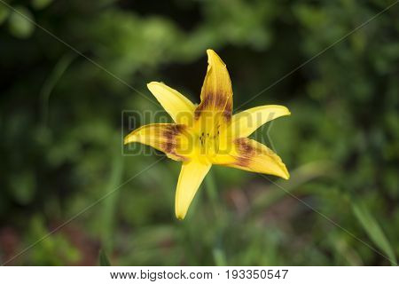 Erythronium umbilicatum, single yellow delicate trout lily on green background - endangered in Florida