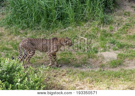 Cheetah Acinonyx Jubatus Walking On The Wild Staring A Prey With Bushes And Grass On The Background
