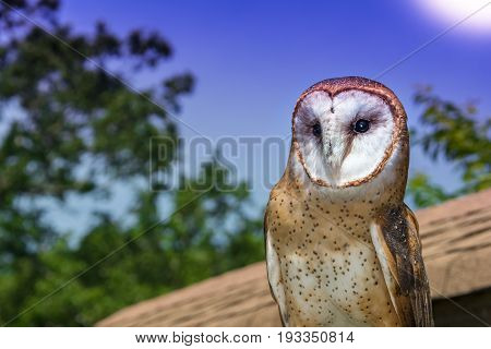 A close up of a Barn Owl at a falconry show.
